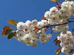 Prunus serrulata